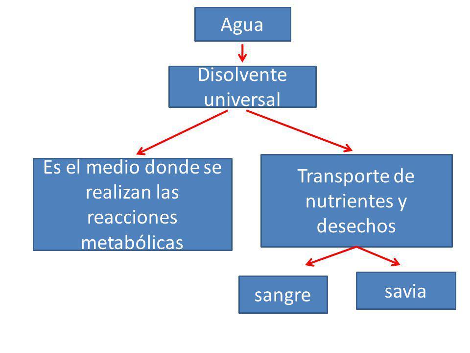 Agua Disolvente universal Transporte de nutrientes y desechos Es el medio donde se realizan las reacciones metabólicas savia sangre