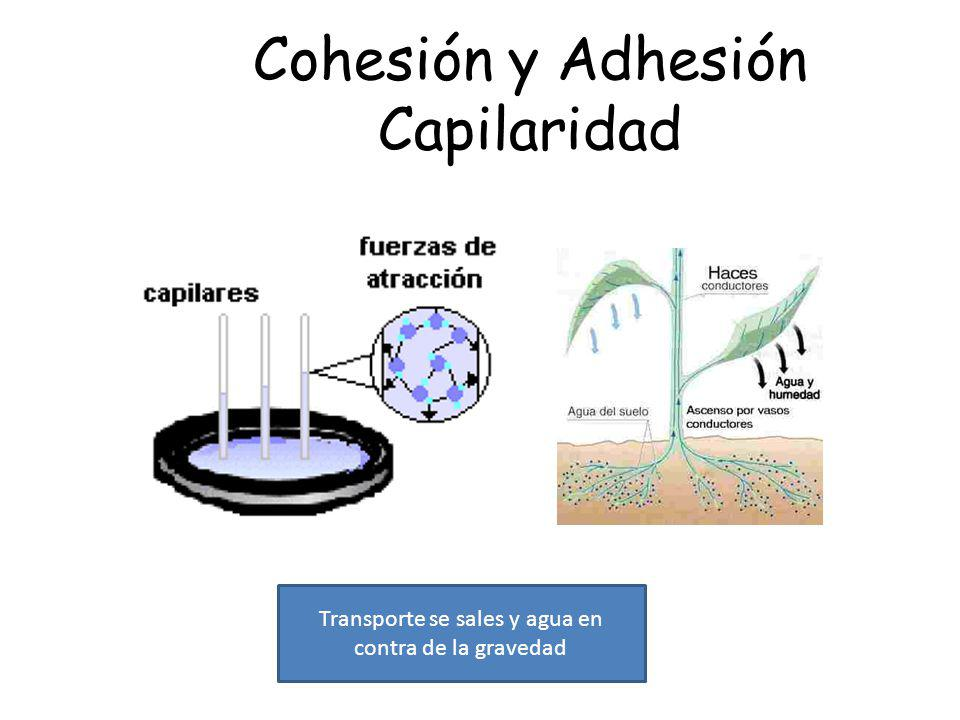 Cohesión y Adhesión Capilaridad Transporte se sales y agua en contra de la gravedad