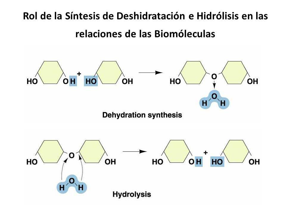 Rol de la Síntesis de Deshidratación e Hidrólisis en las relaciones de las Biomóleculas