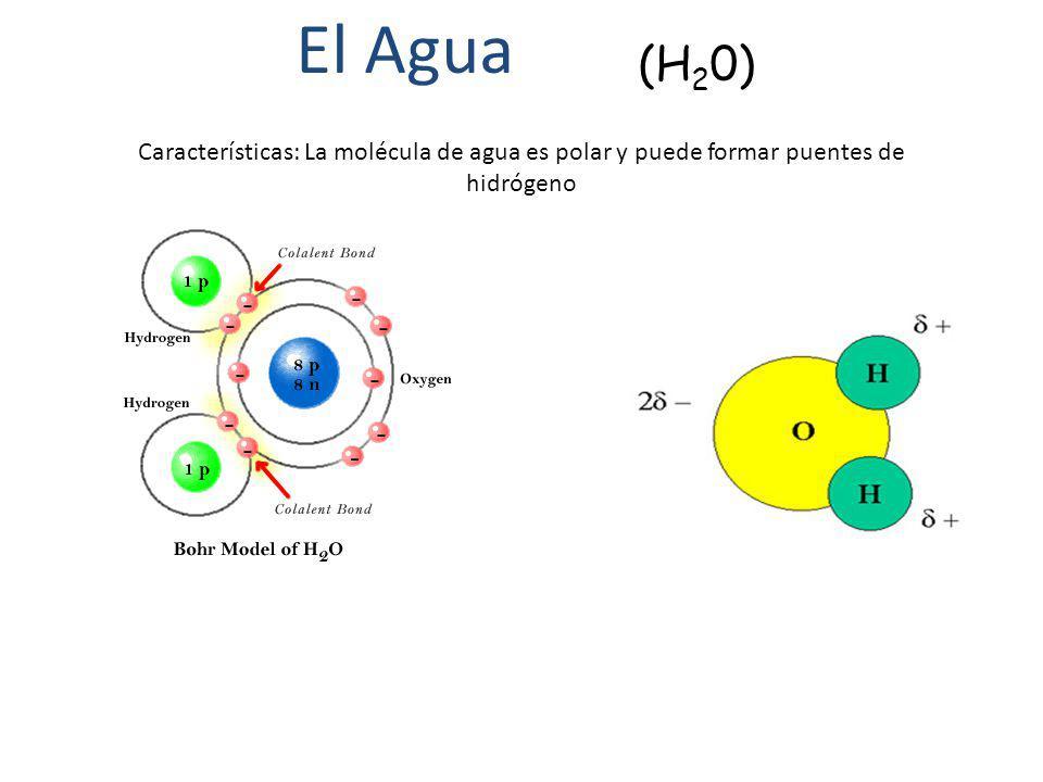 (H 2 0) Características: La molécula de agua es polar y puede formar puentes de hidrógeno El Agua