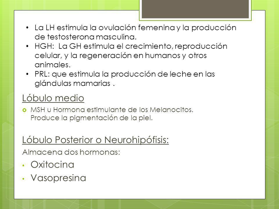 Lóbulo medio MSH u Hormona estimulante de los Melanocitos. Produce la pigmentación de la piel. Lóbulo Posterior o Neurohipófisis: Almacena dos hormona