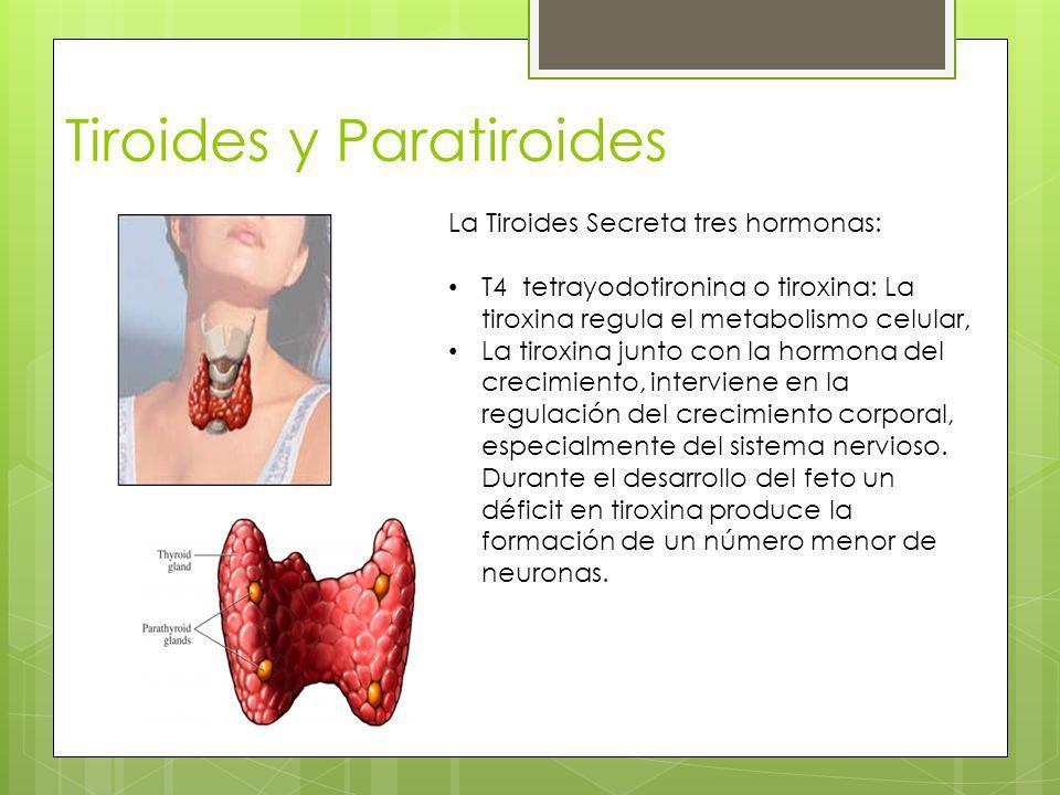 Tiroides y Paratiroides La Tiroides Secreta tres hormonas: T4 tetrayodotironina o tiroxina: La tiroxina regula el metabolismo celular, La tiroxina jun