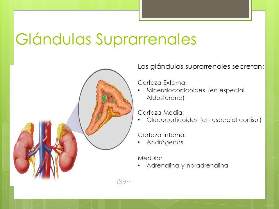 Glándulas Suprarrenales Las glándulas suprarrenales secretan: Corteza Externa: Mineralocorticoides (en especial Aldosterona) Corteza Media: Glucocorti