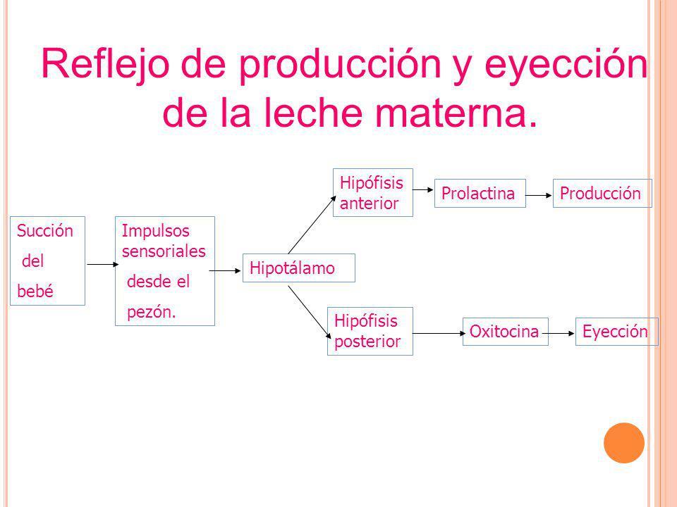 Succión del bebé Impulsos sensoriales desde el pezón. Hipotálamo Hipófisis anterior Hipófisis posterior Prolactina Oxitocina Producción Eyección Refle