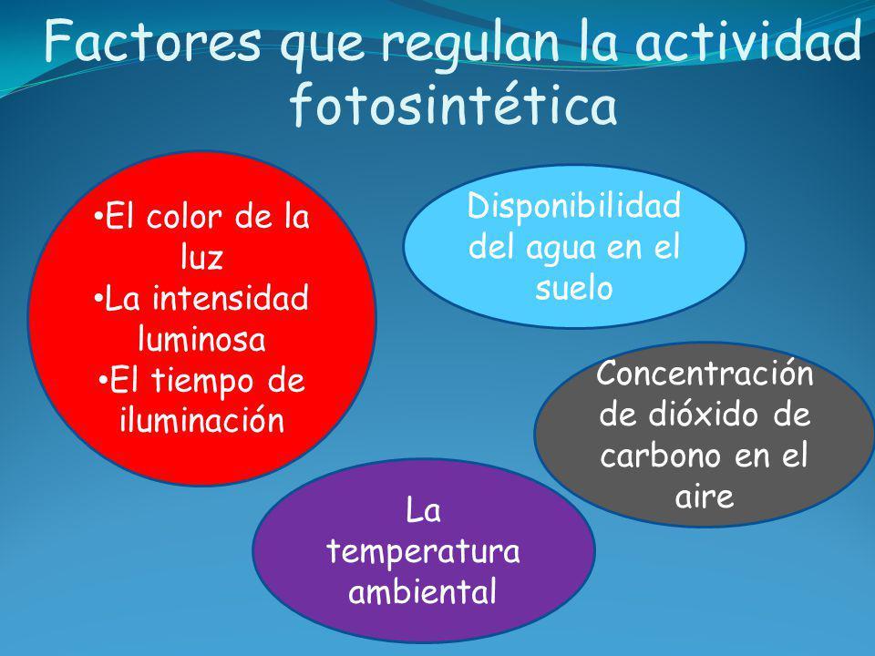 Factores que regulan la actividad fotosintética Disponibilidad del agua en el suelo El color de la luz La intensidad luminosa El tiempo de iluminación