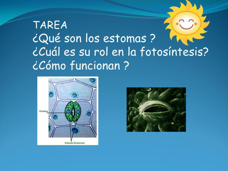 TAREA ¿Qué son los estomas ? ¿Cuál es su rol en la fotosíntesis? ¿Cómo funcionan ?