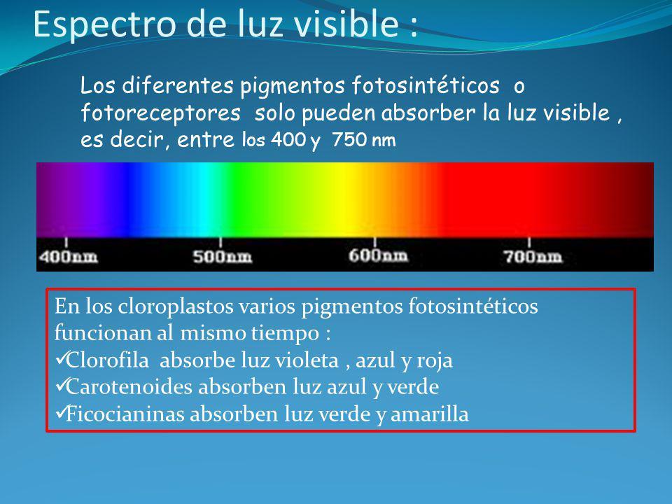 Espectro de luz visible : Los diferentes pigmentos fotosintéticos o fotoreceptores solo pueden absorber la luz visible, es decir, entre los 400 y 750