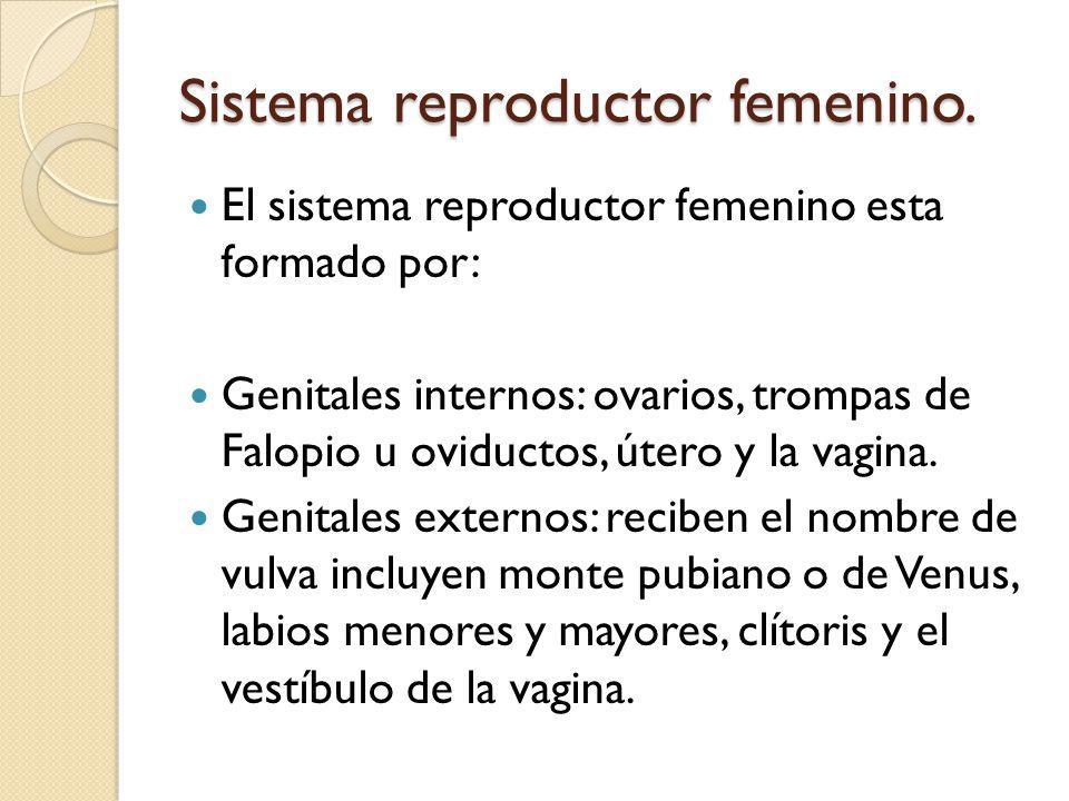 Sistema reproductor femenino.