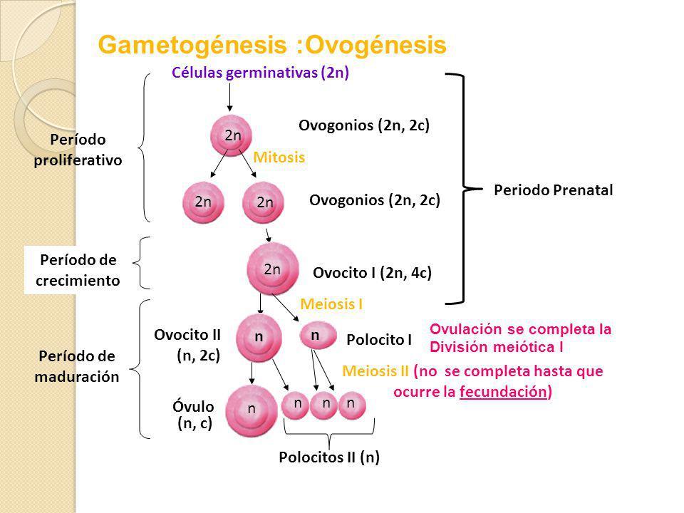 Período proliferativo Período de crecimiento Células germinativas (2n) Ovogonios (2n, 2c) 2n Mitosis Ovogonios (2n, 2c) 2n Ovocito I (2n, 4c) 2n Meiosis I Meiosis II (no se completa hasta que ocurre la fecundación) Período de maduración Ovocito II (n, 2c) n Polocito I n n n Polocitos II (n) nn Óvulo (n, c) Periodo Prenatal Gametogénesis :Ovogénesis Ovulación se completa la División meiótica I