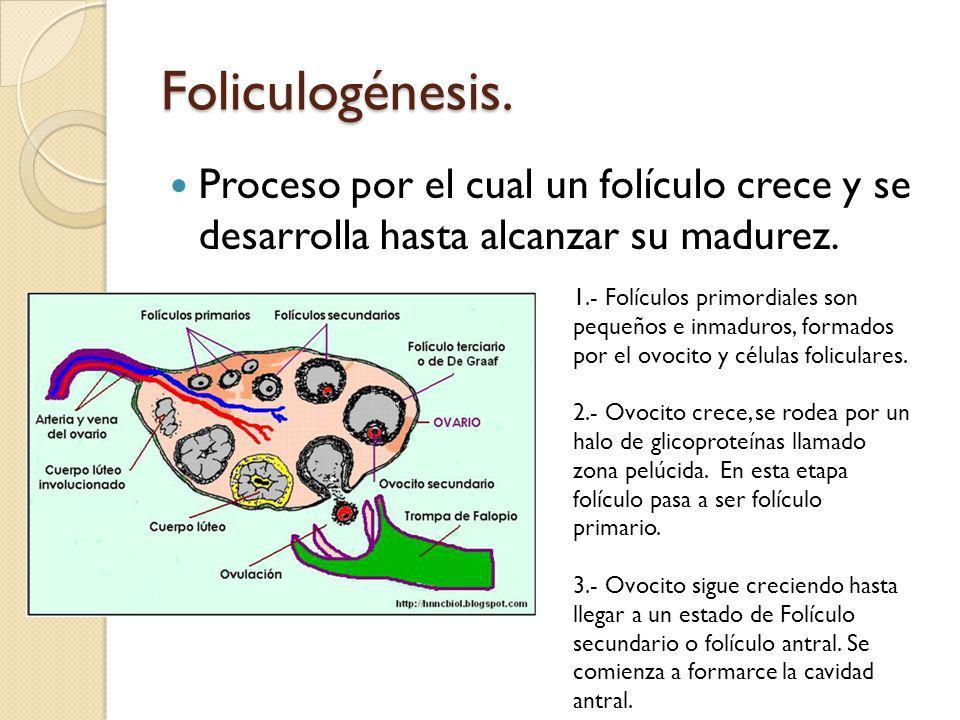 Foliculogénesis.Proceso por el cual un folículo crece y se desarrolla hasta alcanzar su madurez.