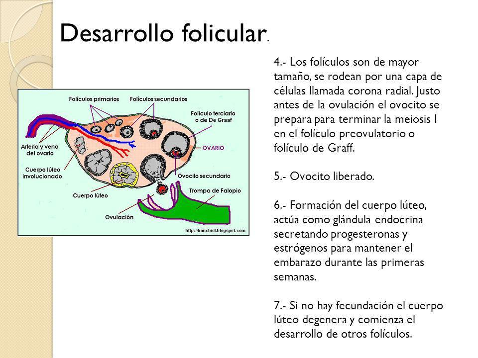 Desarrollo folicular.