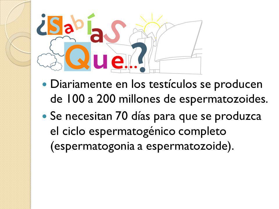 Diariamente en los testículos se producen de 100 a 200 millones de espermatozoides.