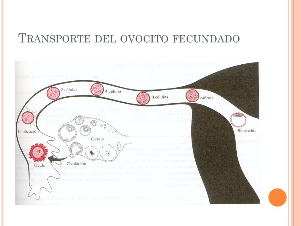 T RANSPORTE DEL OVOCITO FECUNDADO