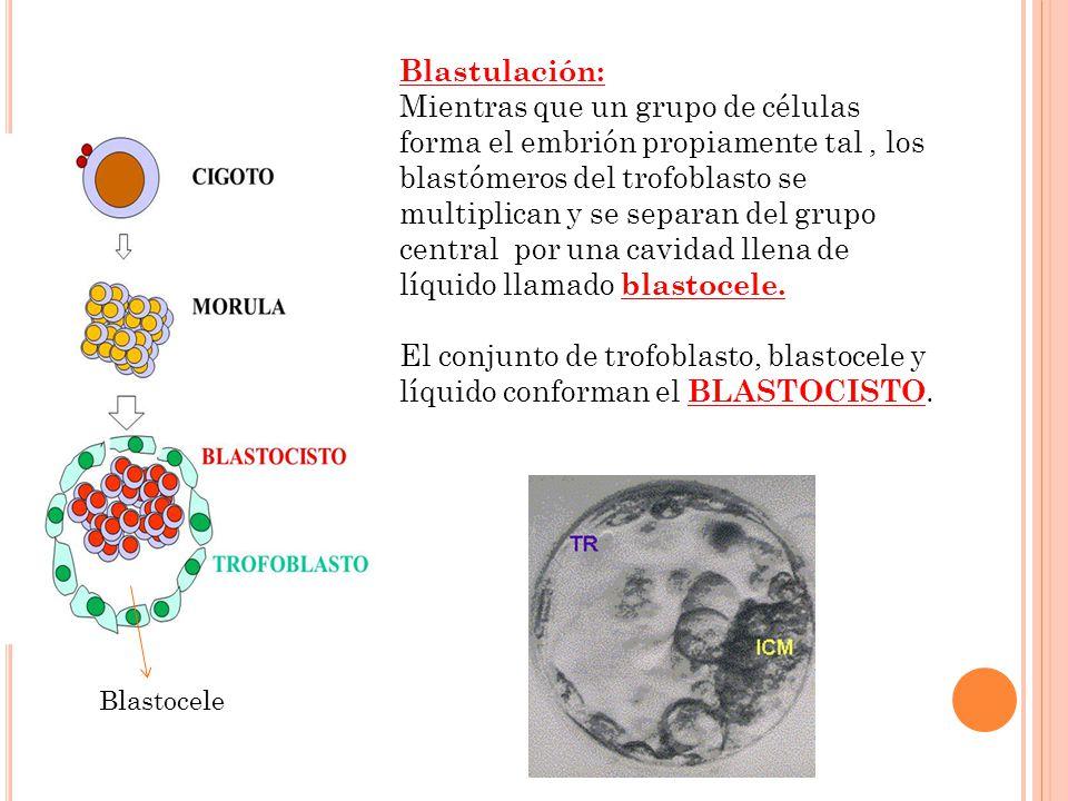 Blastulación: Mientras que un grupo de células forma el embrión propiamente tal, los blastómeros del trofoblasto se multiplican y se separan del grupo
