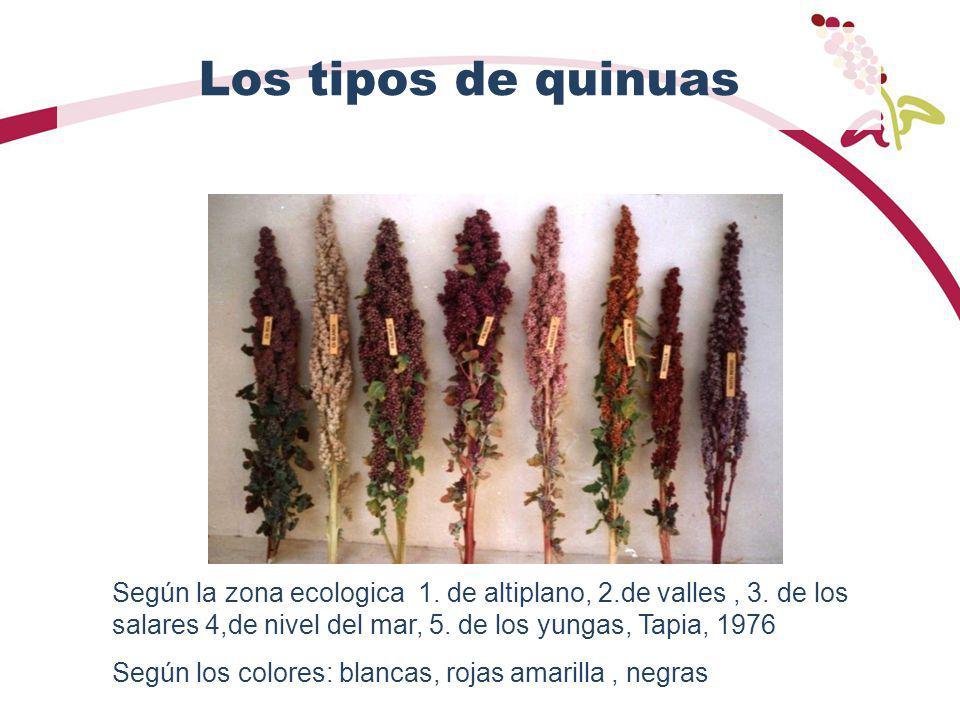 Los tipos de quinuas Según la zona ecologica 1. de altiplano, 2.de valles, 3. de los salares 4,de nivel del mar, 5. de los yungas, Tapia, 1976 Según l