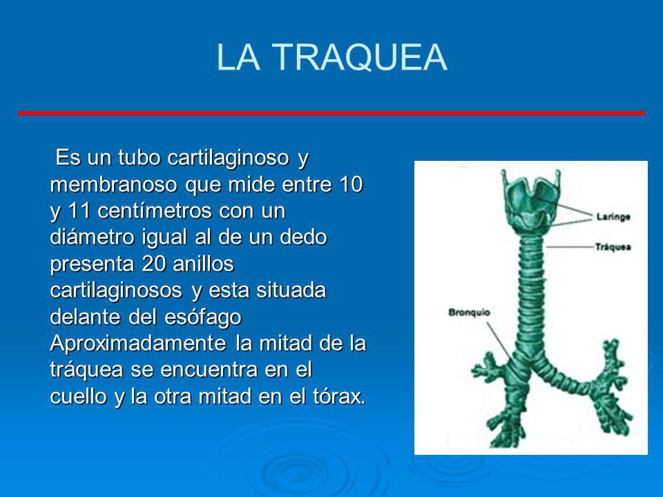 LA TRAQUEA Es un tubo cartilaginoso y membranoso que mide entre 10 y 11 centímetros con un diámetro igual al de un dedo presenta 20 anillos cartilagin
