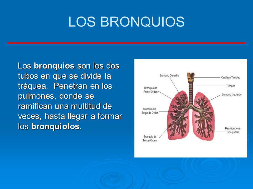 LOS BRONQUIOS Los bronquios son los dos tubos en que se divide la tráquea. Penetran en los pulmones, donde se ramifican una multitud de veces, hasta l