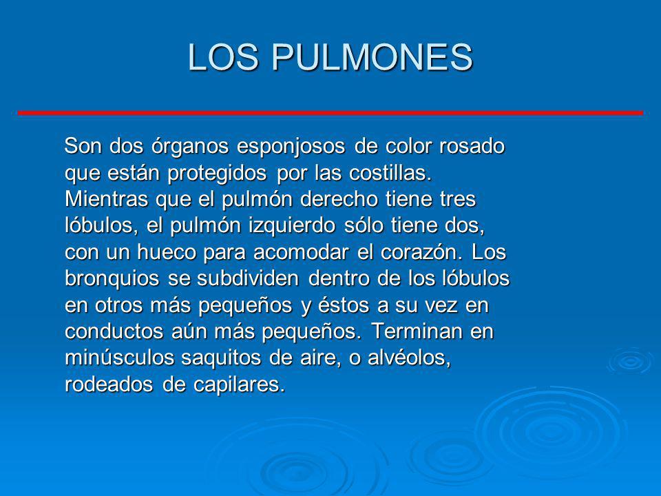 LOS PULMONES Son dos órganos esponjosos de color rosado que están protegidos por las costillas. Mientras que el pulmón derecho tiene tres lóbulos, el