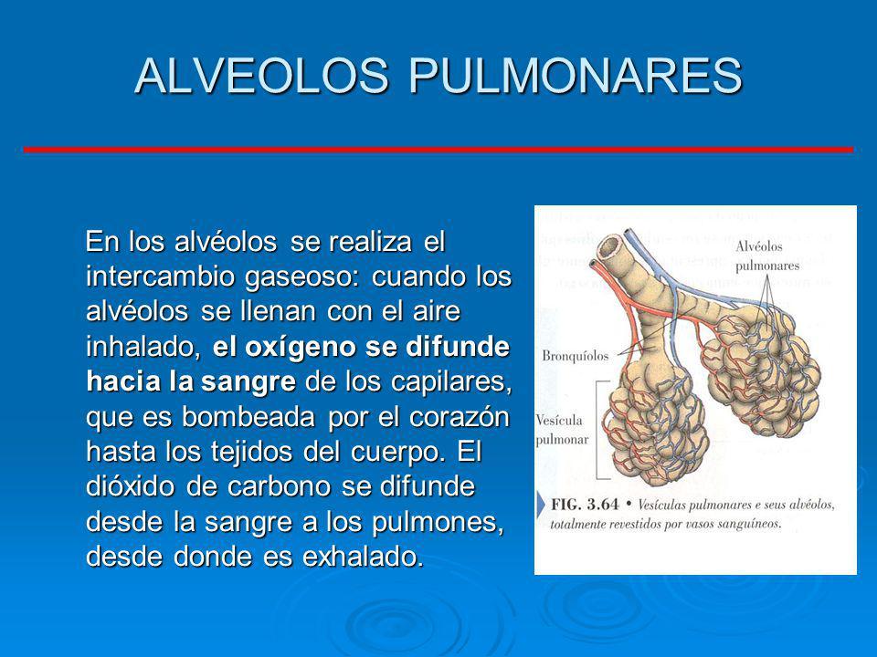 ALVEOLOS PULMONARES En los alvéolos se realiza el intercambio gaseoso: cuando los alvéolos se llenan con el aire inhalado, el oxígeno se difunde hacia