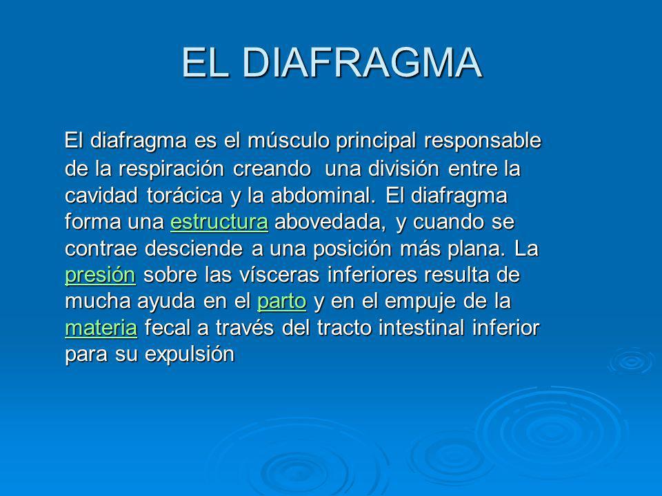 EL DIAFRAGMA El diafragma es el músculo principal responsable de la respiración creando una división entre la cavidad torácica y la abdominal. El diaf