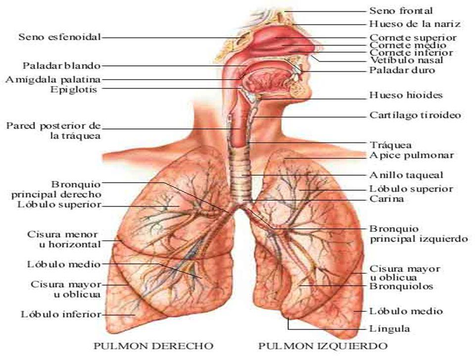SISTEMA RESPIRATORIO Es el responsable de aportar oxígeno a la sangre y expulsar los gases de desecho, de los que el dióxido de carbono es el principal constituyente, del cuerpo.