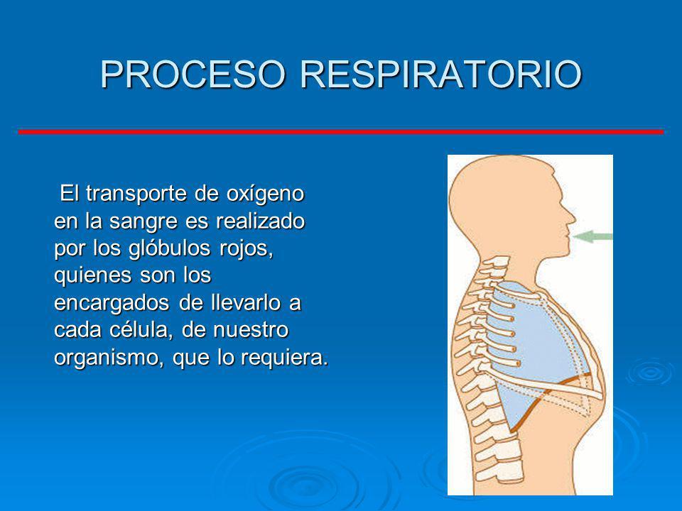 PROCESO RESPIRATORIO El transporte de oxígeno en la sangre es realizado por los glóbulos rojos, quienes son los encargados de llevarlo a cada célula,