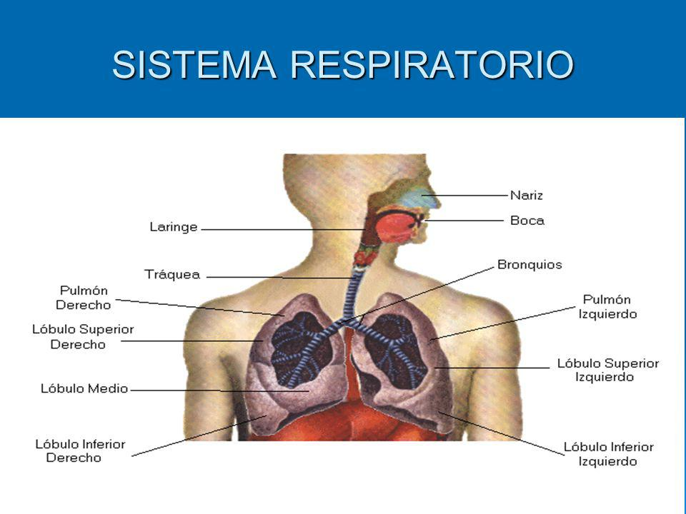 VIAS RESPIRATORIAS Presenta las fosas nasales, la faringe, la laringe, la tráquea, los bronquios y los bronquíolos.