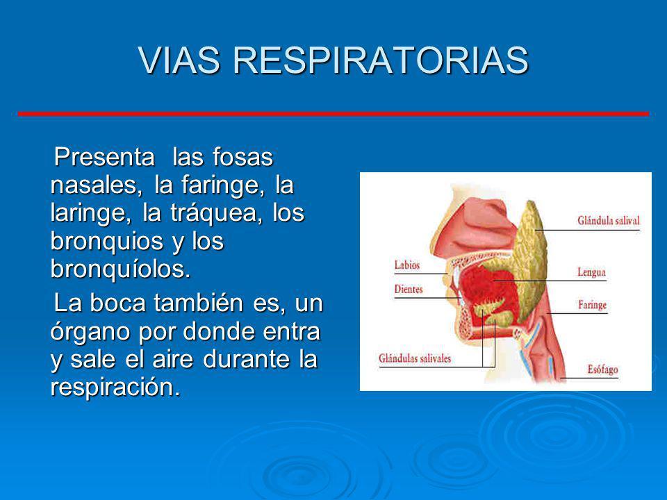 VIAS RESPIRATORIAS Presenta las fosas nasales, la faringe, la laringe, la tráquea, los bronquios y los bronquíolos. Presenta las fosas nasales, la far