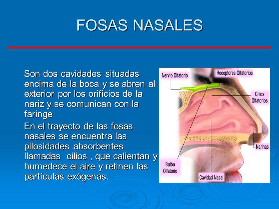 FOSAS NASALES Son dos cavidades situadas encima de la boca y se abren al exterior por los orificios de la nariz y se comunican con la faringe Son dos