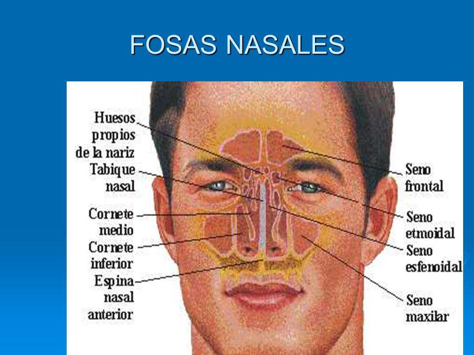 LA FARINGE Se encuentra a continuación de las fosas nasales y la boca.