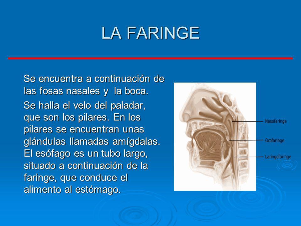 LA FARINGE Se encuentra a continuación de las fosas nasales y la boca. Se encuentra a continuación de las fosas nasales y la boca. Se halla el velo de
