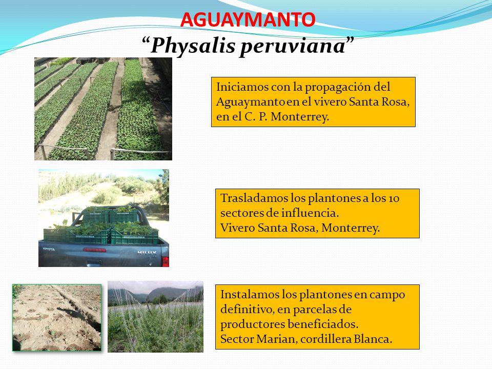 AGUAYMANTO Physalis peruviana Iniciamos con la propagación del Aguaymanto en el vivero Santa Rosa, en el C. P. Monterrey. Trasladamos los plantones a