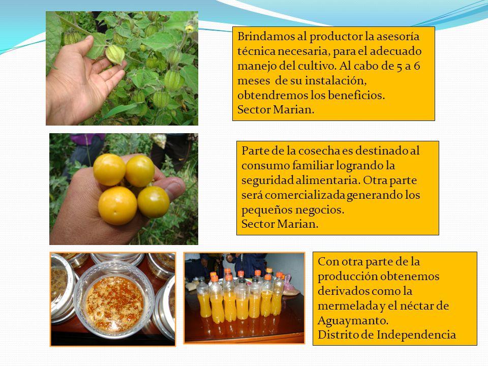 TOMATE DE ARBOL Cyphomandra betacea Iniciamos con la propagación del Aguaymanto en el vivero Miraflores, en el C.