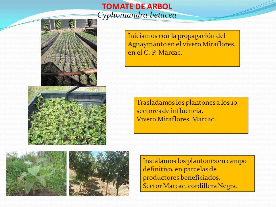TOMATE DE ARBOL Cyphomandra betacea Iniciamos con la propagación del Aguaymanto en el vivero Miraflores, en el C. P. Marcac. Trasladamos los plantones
