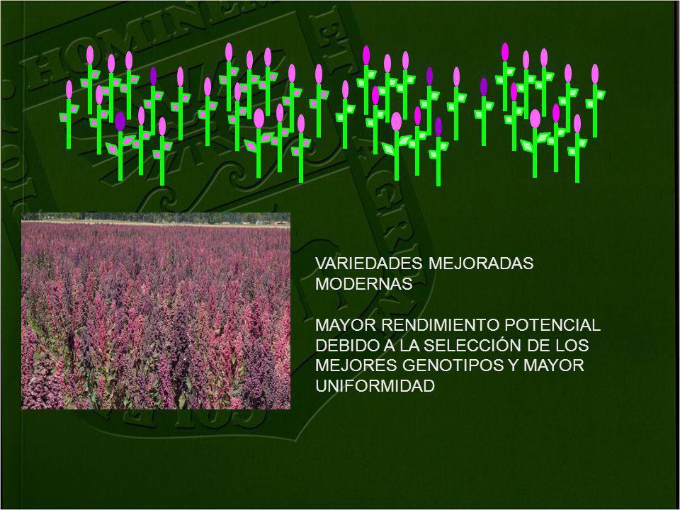 VARIEDADES MEJORADAS MODERNAS MAYOR RENDIMIENTO POTENCIAL DEBIDO A LA SELECCIÓN DE LOS MEJORES GENOTIPOS Y MAYOR UNIFORMIDAD