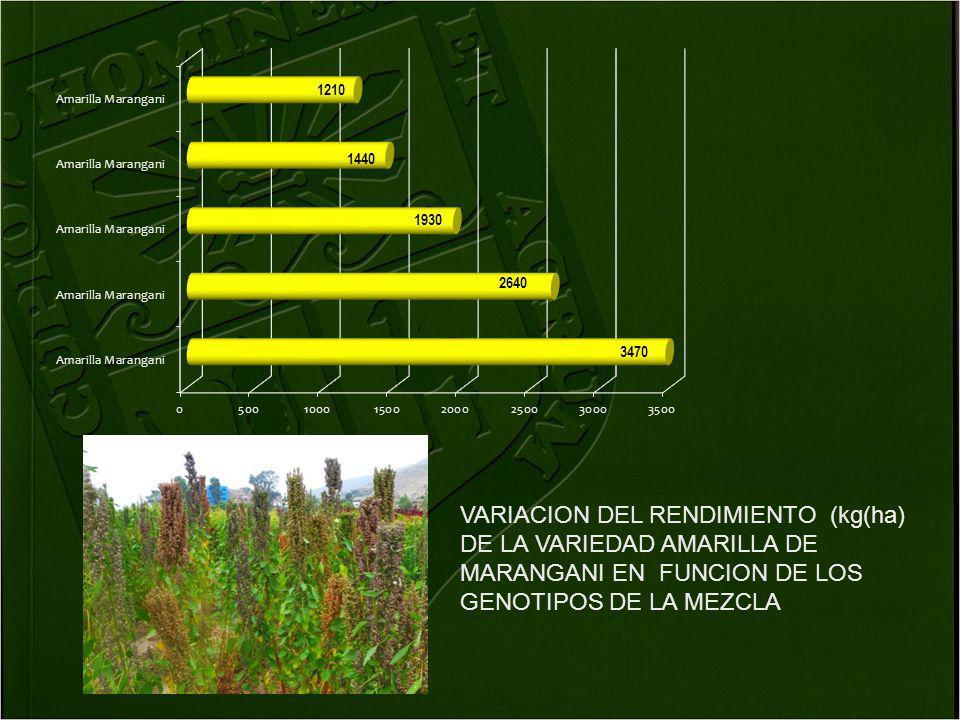 VARIACION DEL RENDIMIENTO (kg(ha) DE LA VARIEDAD AMARILLA DE MARANGANI EN FUNCION DE LOS GENOTIPOS DE LA MEZCLA