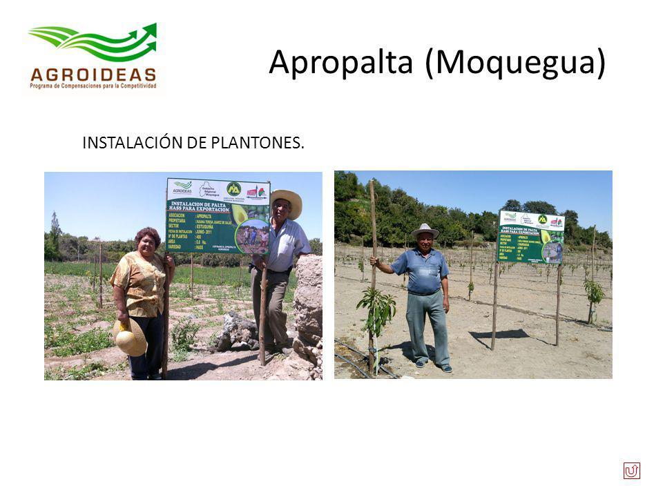 Apropalta (Moquegua) INSTALACIÓN DE PLANTONES.