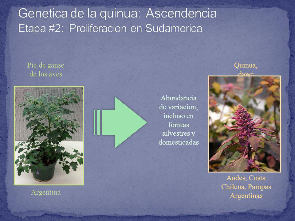 Pie de ganso de los aves Argentina Quinua, dawe Andes, Costa Chilena, Pampas Argentinas Abundancia de variacion, incluso en formas silvestres y domesticadas