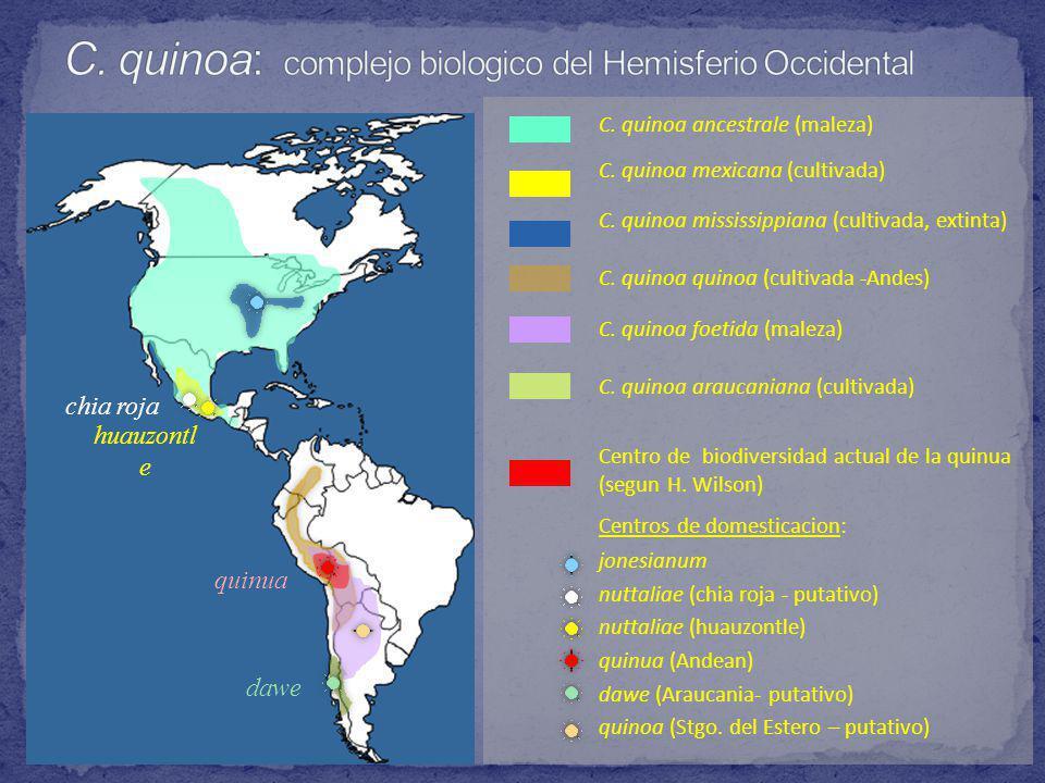 C.quinoa ancestrale (maleza) C. quinoa mexicana (cultivada) C.