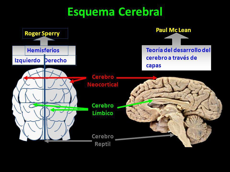 Roger Sperry Hemisferios Izquierdo Derecho Paul Mc Lean Teoría del desarrollo del cerebro a través de capas Cerebro Neocortical Cerebro Límbico Cerebr