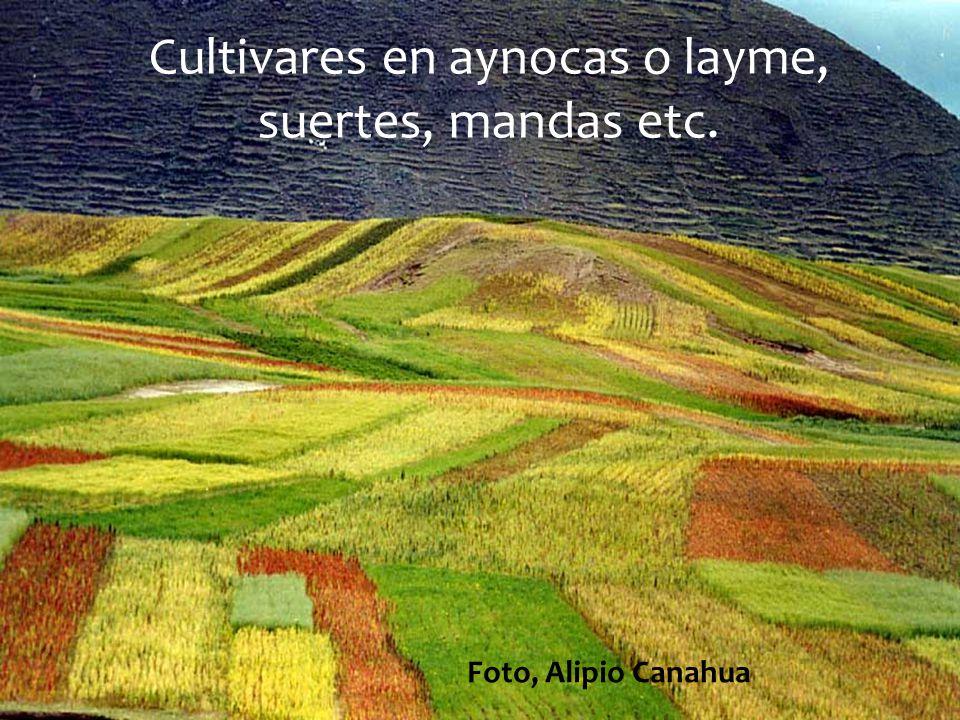 Cultivares en aynocas o layme, suertes, mandas etc. Foto, Alipio Canahua