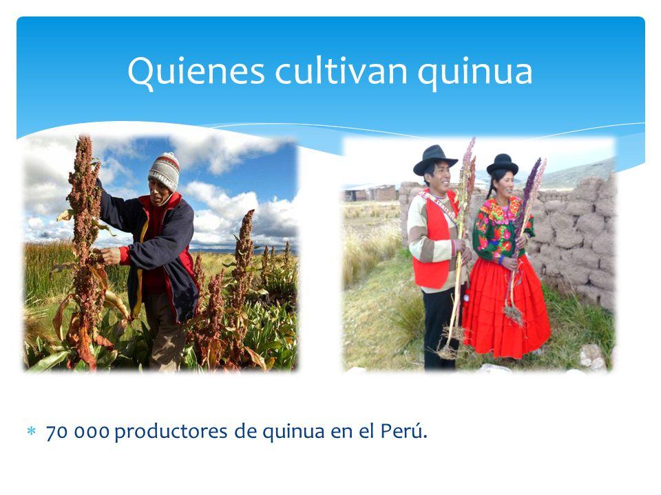 Quienes cultivan quinua 70 000 productores de quinua en el Perú.