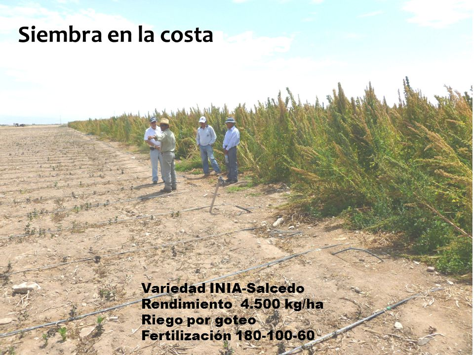 Quinua en Majes (Agricultura convencional) Variedad INIA-Salcedo Rendimiento 4.500 kg/ha Riego por goteo Fertilización 180-100-60 Siembra en la costa