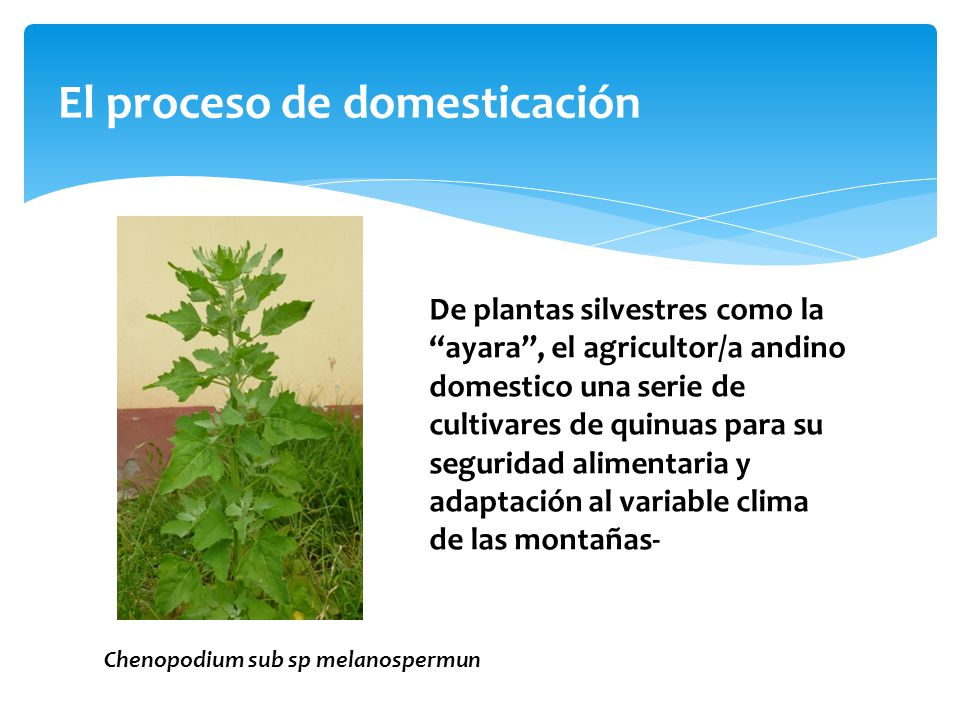 El proceso de domesticación De plantas silvestres como la ayara, el agricultor/a andino domestico una serie de cultivares de quinuas para su seguridad