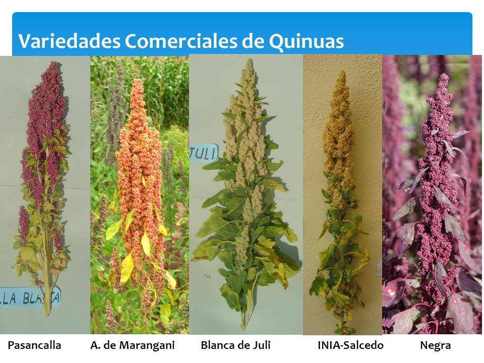 Variedades Comerciales de Quinuas Pasancalla A. de Marangani Blanca de Juli INIA-Salcedo Negra
