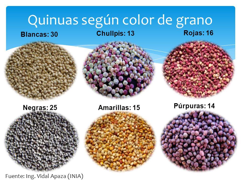 Quinuas según color de grano Negras: 25 Rojas: 16 Amarillas: 15 Chullpis: 13 Púrpuras: 14 Blancas: 30 Fuente: Ing. Vidal Apaza (INIA)