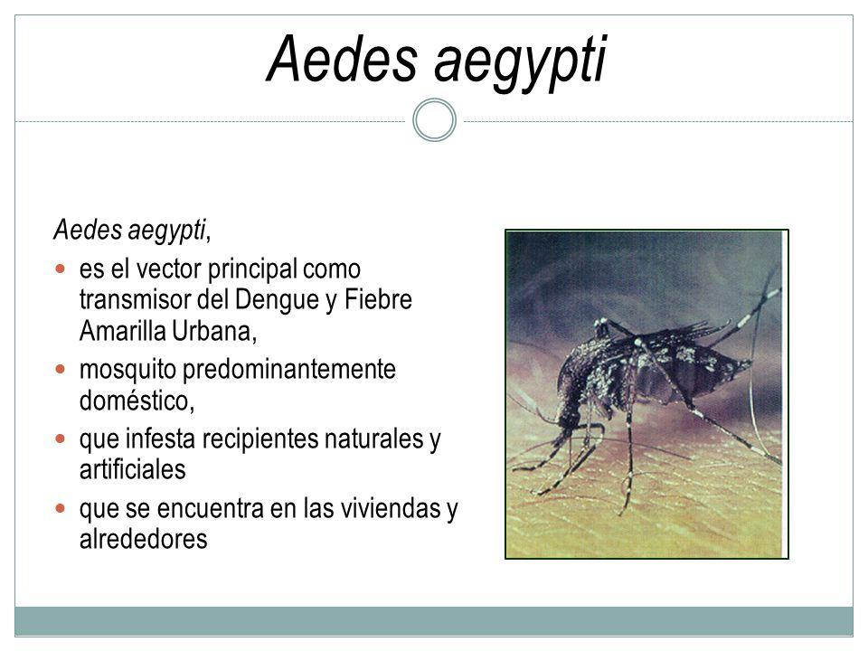 Aedes aegypti Aedes aegypti, es el vector principal como transmisor del Dengue y Fiebre Amarilla Urbana, mosquito predominantemente doméstico, que inf