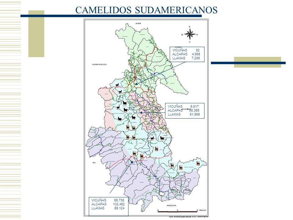 CAMELIDOS SUDAMERICANOS VICUÑAS 92 ALCAPAS 4,965 LLAMAS 7,286 VICUÑAS 5,617 ALCAPAS 88,355 LLAMAS 61,566 VICUÑAS 55,735 ALCAPAS 102,452 LLAMAS 59,124