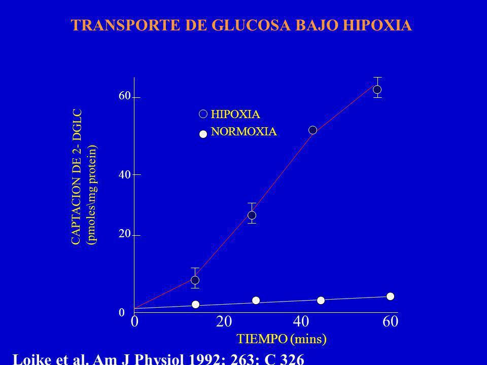 CAPTACION DE 2- DGLC (pmoles\mg protein) 60 40 20 0 0206040 TIEMPO (mins) HIPOXIA NORMOXIA Loike et al.