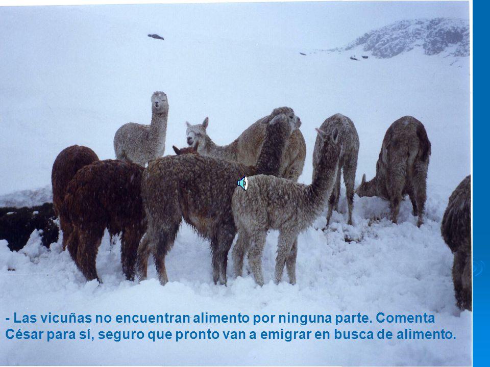 - Las vicuñas no encuentran alimento por ninguna parte.